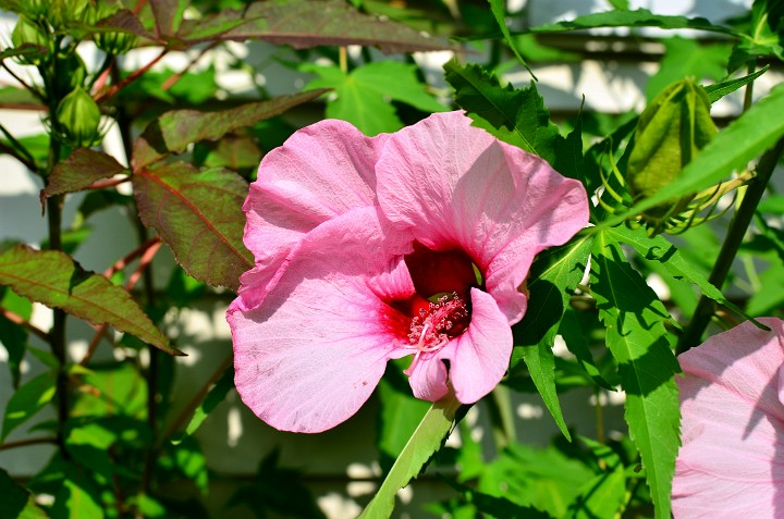 Lord Baltimore Hardy Hibiscus In Deep Red