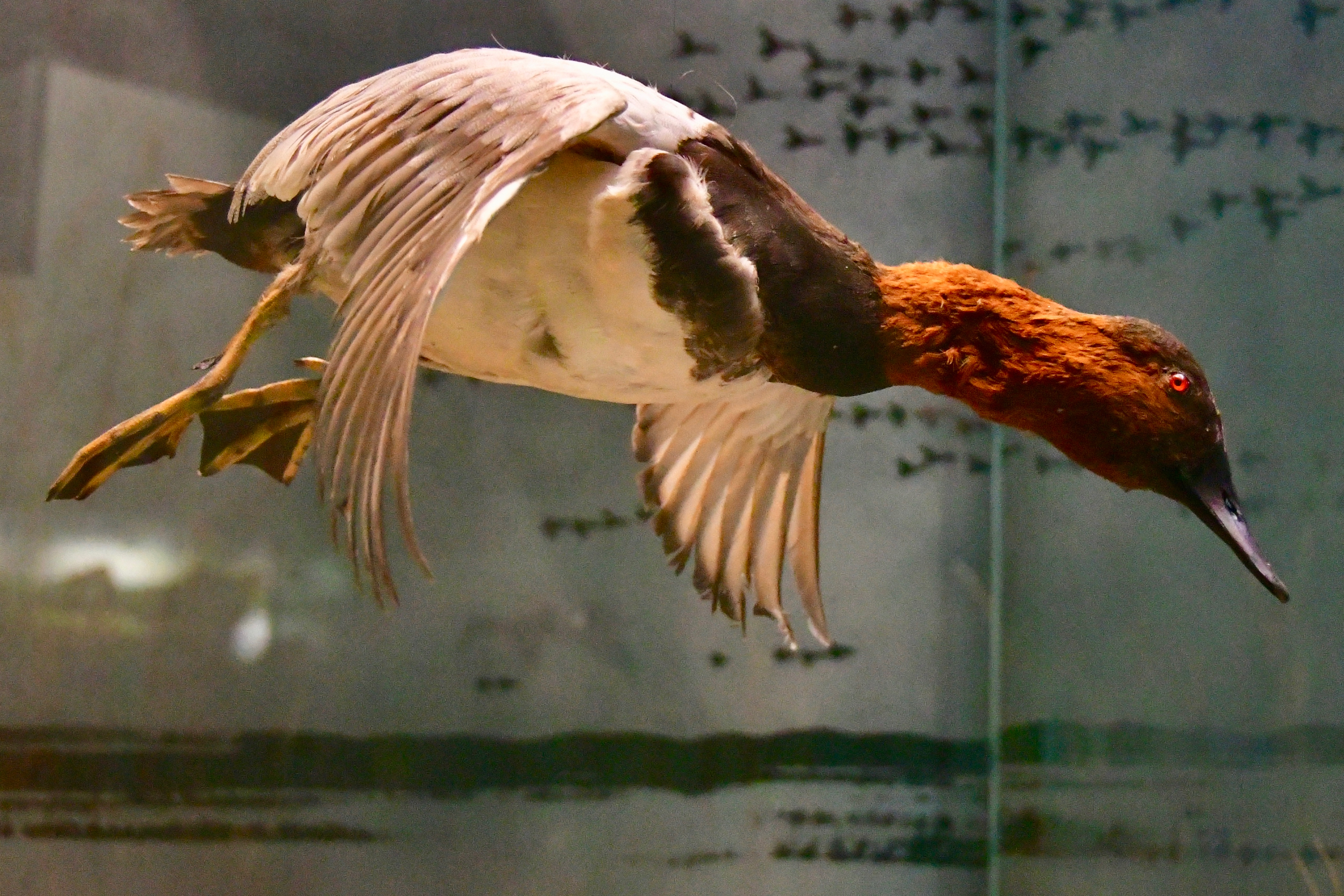 Hanging Canvasback in Flight
